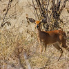steenbok, <i>Raphicerus campestris</i> (Bovidae). Khaudum N.P., Kavango Namibia Africa