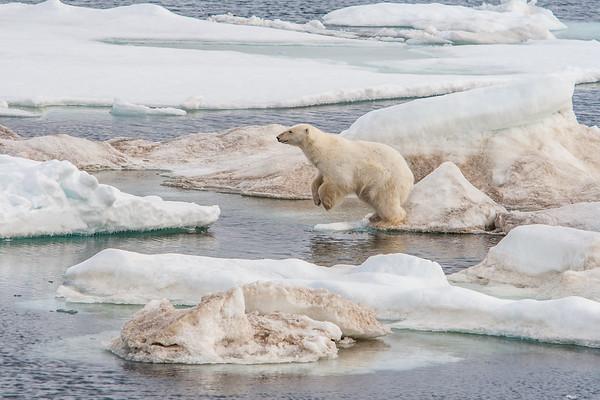 polar bear, Ursus maritimus (Ursidae). East of Barentsoya, Olgastretet, Svalbard Norway