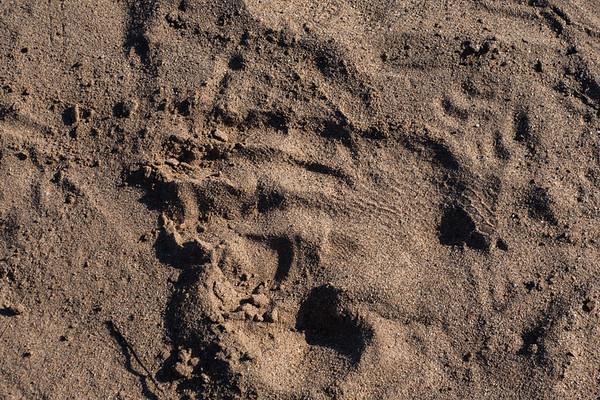 footprint nile crocodile, Crocodylus niloticus (Crocodylidae). Epupa, Kunene Namibia