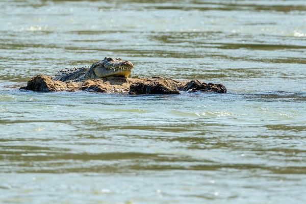 nile crocodile, Crocodylus niloticus (Crocodylidae). Epupa, Kunene Namibia