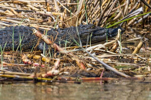 nile crocodile, Crocodylus niloticus (Crocodylidae). Kwando, Kavango Namibia