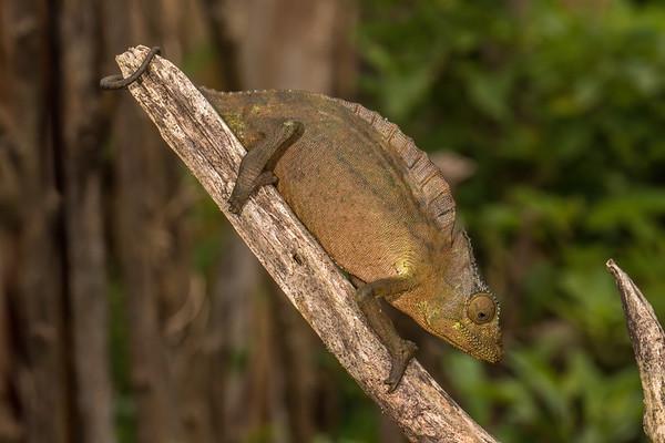 crested chameleon, Triceros cristatis (Chamaeleonidae). Nyasoso, Southwest Region, Cameroon Africa