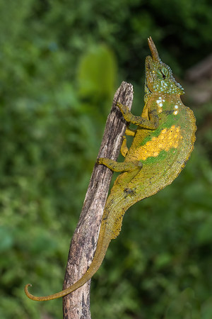 sailfin chameleon, Triceros montium (Chamaeleonidae). Nyasoso, Southwest Region, Cameroon Africa