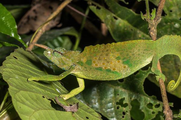 sailfin chameleon, Triceros montium (Chamaeleonidae). On branches overhanging stream, Nyasoso, Southwest Region, Cameroon Africa