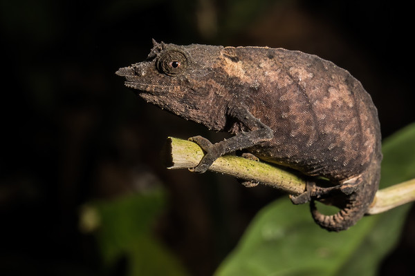 Cameroon stumptail ground chameleon, Rampholeon spectrum (Chamaeleonidae). On low branches along stream,  (Nyasoso, Southwest Region, Cameroon Africa