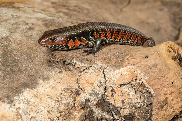 fire skink, Lepidothyris fernandi (Scincidae). Nyasoso, Southwest Region, Cameroon Africa