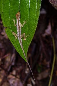Anolis sp. (Dactyloidae). Colibri to Bates loop, Shiripuno, Orellana Ecuador