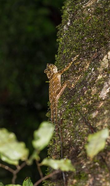 collared tree lizard, Plica plica (Tropiduridae). unnamed trail, Shiripuno, Orellana Ecuador
