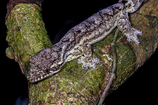 turnip tailed gecko, Thecadactylus rapidcauda (Phyllodactylidae). Gareno Amazon, Napo Ecuador