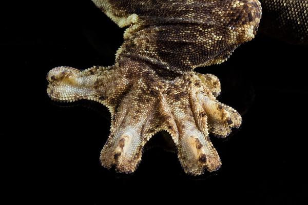 turnip-tail gecko, Thecadactylus solimoensis (Phyllodactylidae). Shiripuno, Orellana Ecuador
