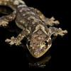 turnip-tail gecko, <i>Thecadactylus solimoensis</i> (Phyllodactylidae). Shiripuno, Orellana Ecuador