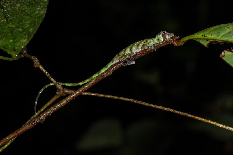 banded tree anole, Anolis transvversalis  (Dactyloidae). Colibri trail, Shiripuno, Orellana Ecuador