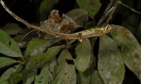 Plica umbra (Tropiduridae). Bates trail, Shiripuno, Orellana Ecuador
