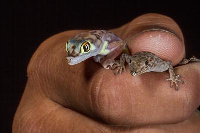 palmetto (web-footed) gecko, Pachydactylus (Palmatogecko) rangei  and Bradfield's day gecko, Rhoptrophus bradfieldi (Gekkonidae). Messum Crater, Erongo Namibia