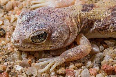 female Carp's barking gecko, Ptenopus carpi (Gekkonidae). Erongo Namibia