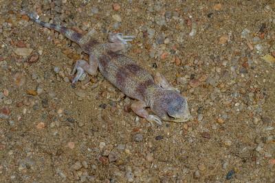 male Carp's barking gecko, Ptenopus carpi (Gekkonidae). Erongo Namibia