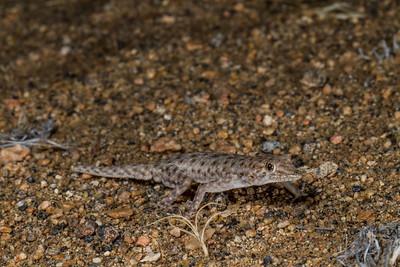 Bradfield's day gecko, Rhoptrophus bradfieldi (Gekkonidae). Messum Crater, Erongo Namibia