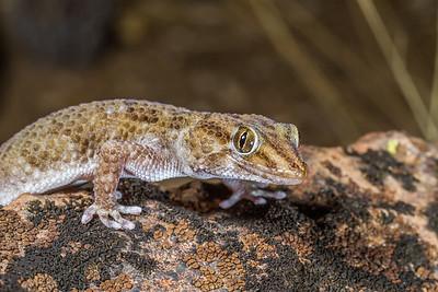 Turner's thick-toed gecko, Pachydactylus turneri (Gekkonidae). Messum Crater, Erongo Namibia