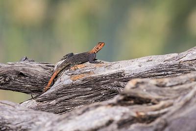 male Nambian rock agama, Agama planiceps planiceps (Agamidae). Ruacana, Omusati Namibia