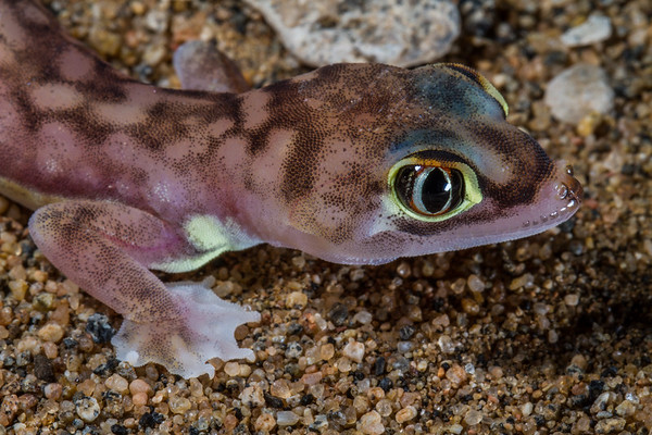 palmetto (web-footed) gecko, Pachydactylus (Palmatogecko) rangei (Gekkonidae). Messum Crater, Erongo Namibia