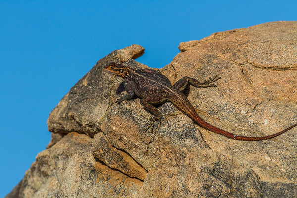 male Nambian rock agama, Agama planiceps planiceps (Agamidae). Erongo Namibia