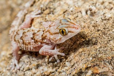 Turner's thick-toed gecko, Pachydactylus turneri (Gekkonidae). Erongo Namibia