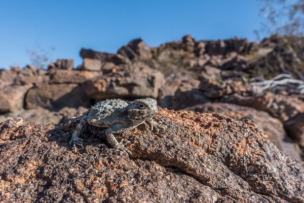 desrt horned lizard, Phrynosoma platyrhinos (Iguanidae). Pinto Mountains, Riverside Co. California USA