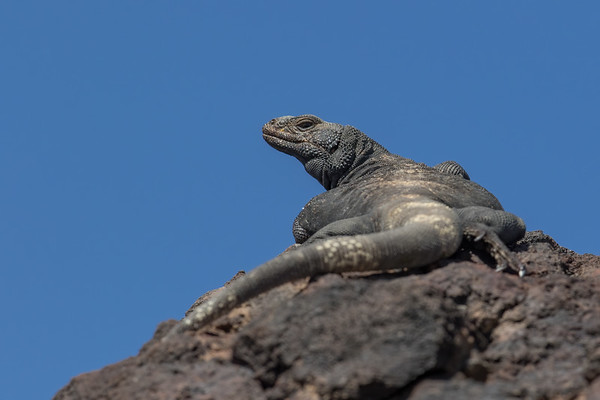 common chuckwalla,  Sauromalus ater (Iguanidae). Fossil Falls, Inyo Co. California USA