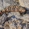 female gila monster, <i>Heloderma suspectum</i> (Helodermatidae). Tinajas Altas Mountains, Yuma Co., Arizona USA.