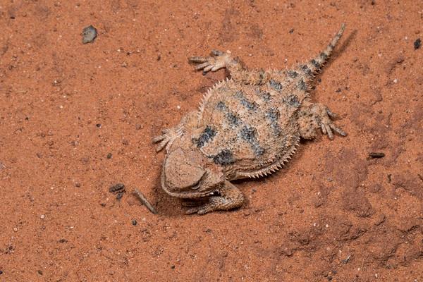 Greater short-horned lizard, Phrynosoma (Tapaja) hernandesi (Iguanidae, Phrynosomatinae). Vermillion Cliffs campsite on House Rock road, Arizona