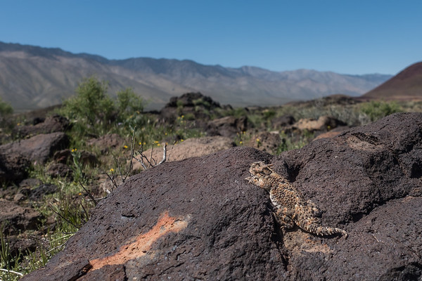 Desert Horned Lizard, Phrynosoma platyrhinos (Iguanidae). Fossil Falls, Inyo Co. California USA