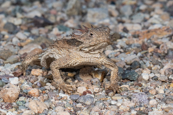regal horned lizard, Phrynosoma (Anota) solare (Iguanidae, Phrynosomatinae). Tucson Mountains, Tucson, Pima Co. Arizona USA