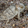 baby regal horned lizard, Phrynosoma (Anota) solare (Iguanidae, Phrynosomatinae). Tucson, Pima Co., Arizona USA