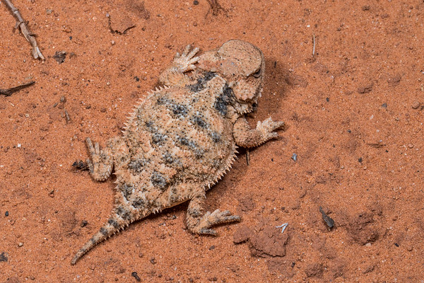 Greater short-horned lizard, Phrynosoma (Tapaja) hernandesi (Iguanidae, Phrynosomatinae). Vermillion Cliffs campsite on House Rock road, Arizona