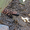 gila monster, Heloderma suspectum (Helodermatidae). Pontatoc Canyon, Tucson, Pima Co. Arizona USA