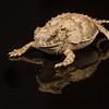baby regal horned lizard, <i>Phrynosoma (Anota) solare</i> (Iguanidae, Phrynosomatinae). Tucson, Pima Co., Arizona USA