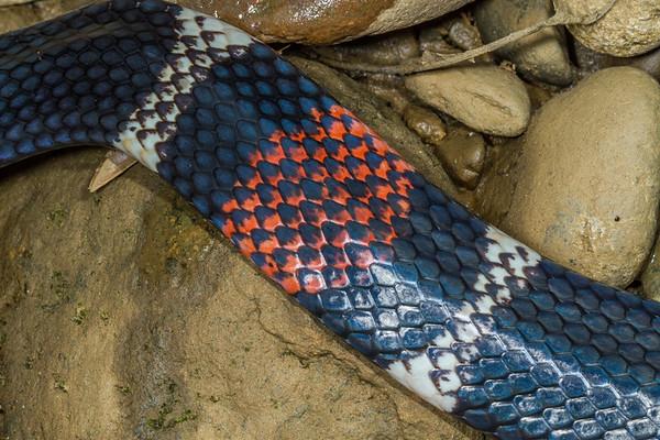 aquatic coral snake, Micrurus surinamensis (Elaperidae).