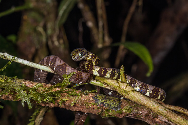 big-headed snail eating snake, Dipsas indica (Colubridae). Gareno Amazon, Napo Ecuador