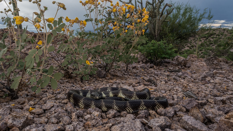 California kingsnake,  (Colubridae). Tucson Mountains, Tucson, Pima Co., Arizona USA