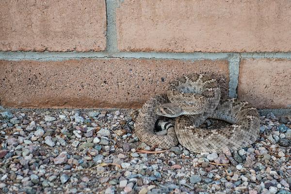 western diamond back rattlesnake, Crotalus atrox (Viperidae). Tucson, Pima Co. Arizona