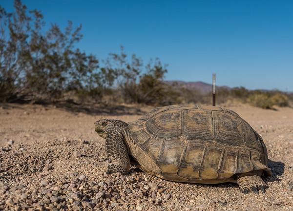 Mojave Desrt Tortoise, Gopherus agassizii (Testudinidae). Gravel Hills, San Bernadino Co. California USA