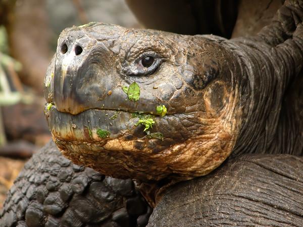giant tortoise, Chelonoidis nigra (Testudinidae). Isla Santa Cruz, Galapagos Islands Ecuador