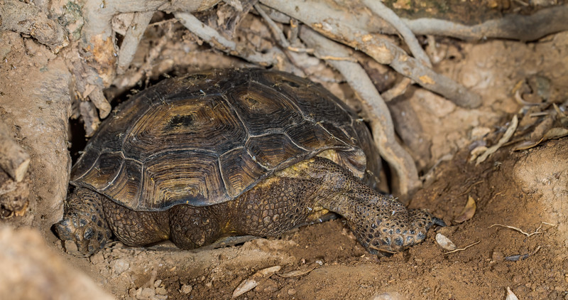 desert tortoise in burrow entrance, Gopherus agassizii (T