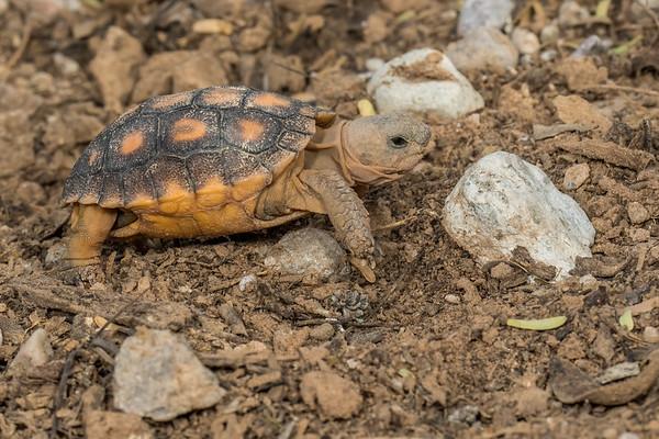 baby Sonoran Desert Tortoise, Gopherus morafkai (agassizii) (Testudinidae). Tucson Mountains, Tucson, Pima Co., Arizona USA
