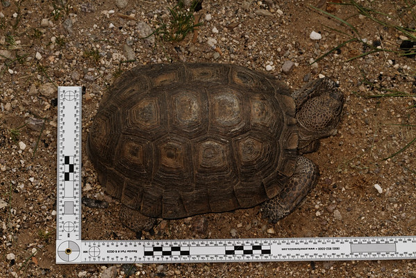 large male desert tortoise, Gopherus agassizii (Testudinidae). Tucson, Pima Co. Arizona USA