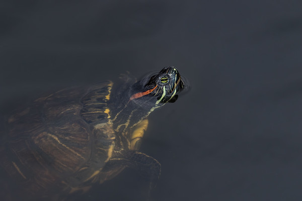 red-eared slider, Trachemys scripta (Reptilia, Testudines, Emydidae). Sweetwater Wetlands, Tucson, Pima Co. Arizona USA