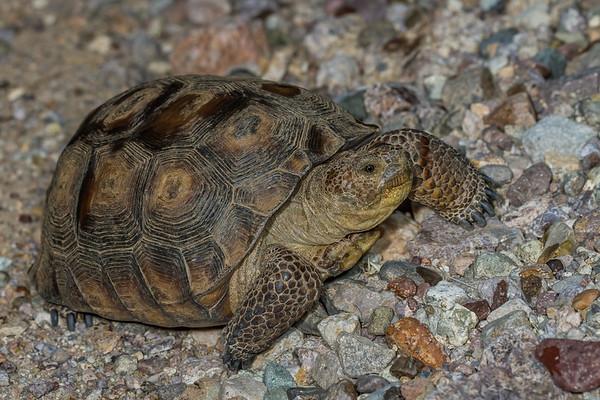 female desert tortoise, Gopherus agassizii (Testudinidae)