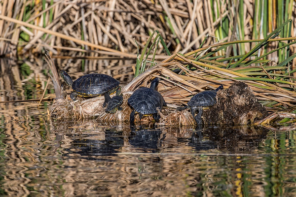 red-eared pond slider,  Trachemys scripta (Emydidae). non-native. Sweetwater Wetlands, Tucson, Pima Co. Arizona