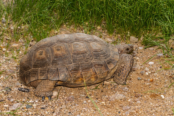 large male desert tortoise, Gopherus agassizii (Testudini