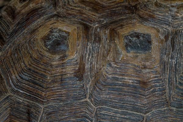 male desert tortoise, Gopherus agassizii (Testudinidae),